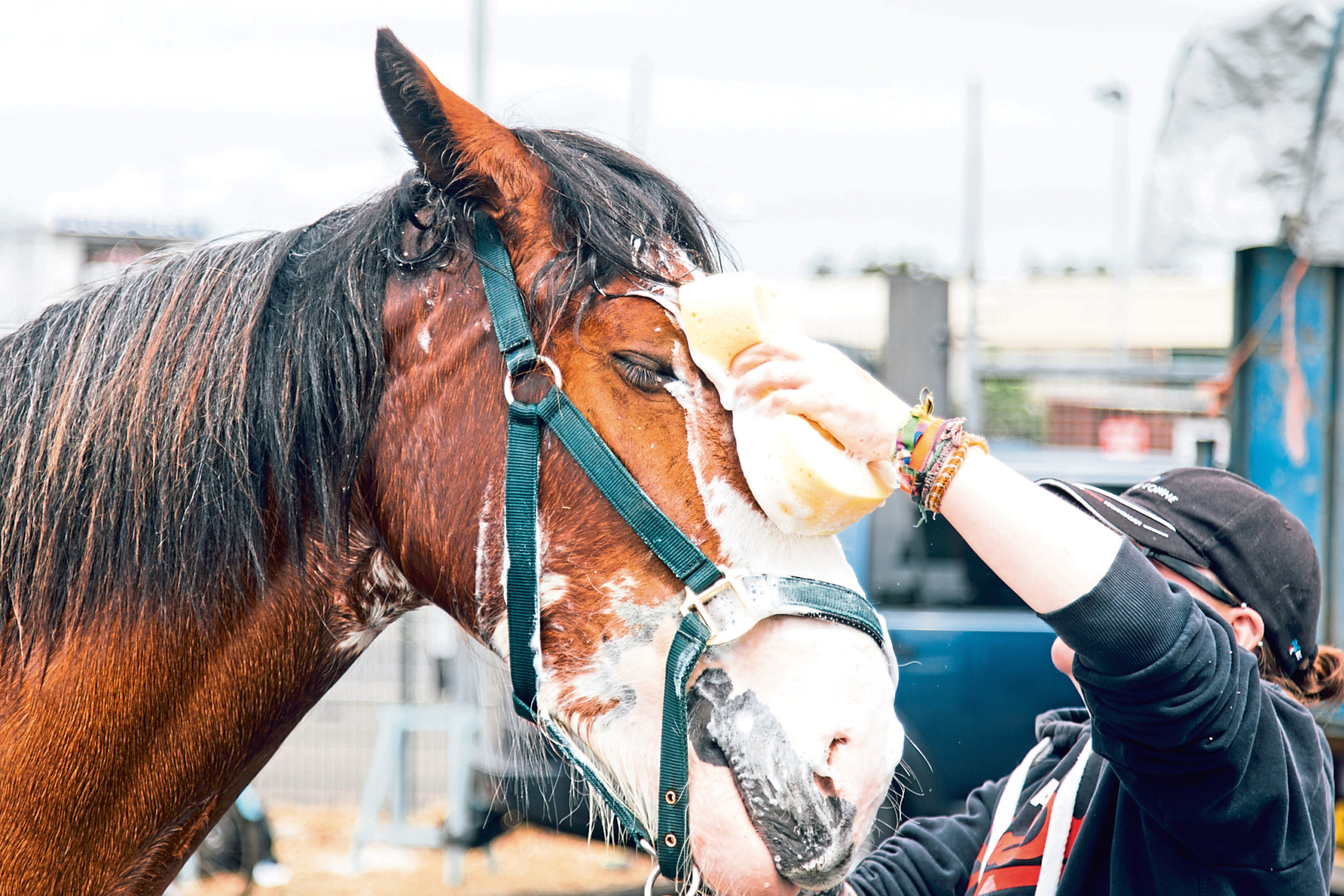 The show features eight different classes for horses, including Clydesdales.
