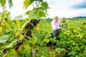 Dundee blackcurrant farmer Andrew Husband inspects the berries he is growing for Ribena, which is investing in its crops.