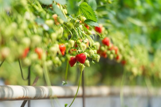 Increased costs could be worth £116 a tonne for strawberry growers.