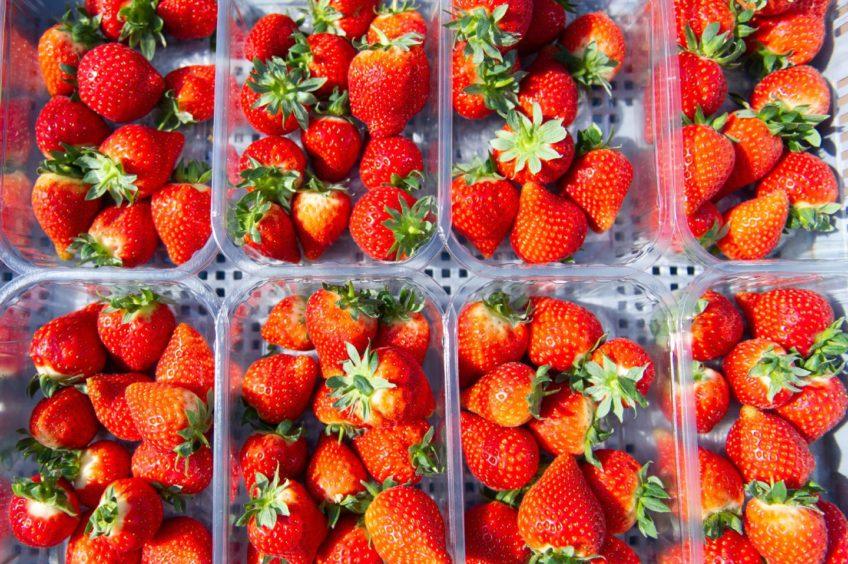 Strawberries at Barnsmuir Farm.
