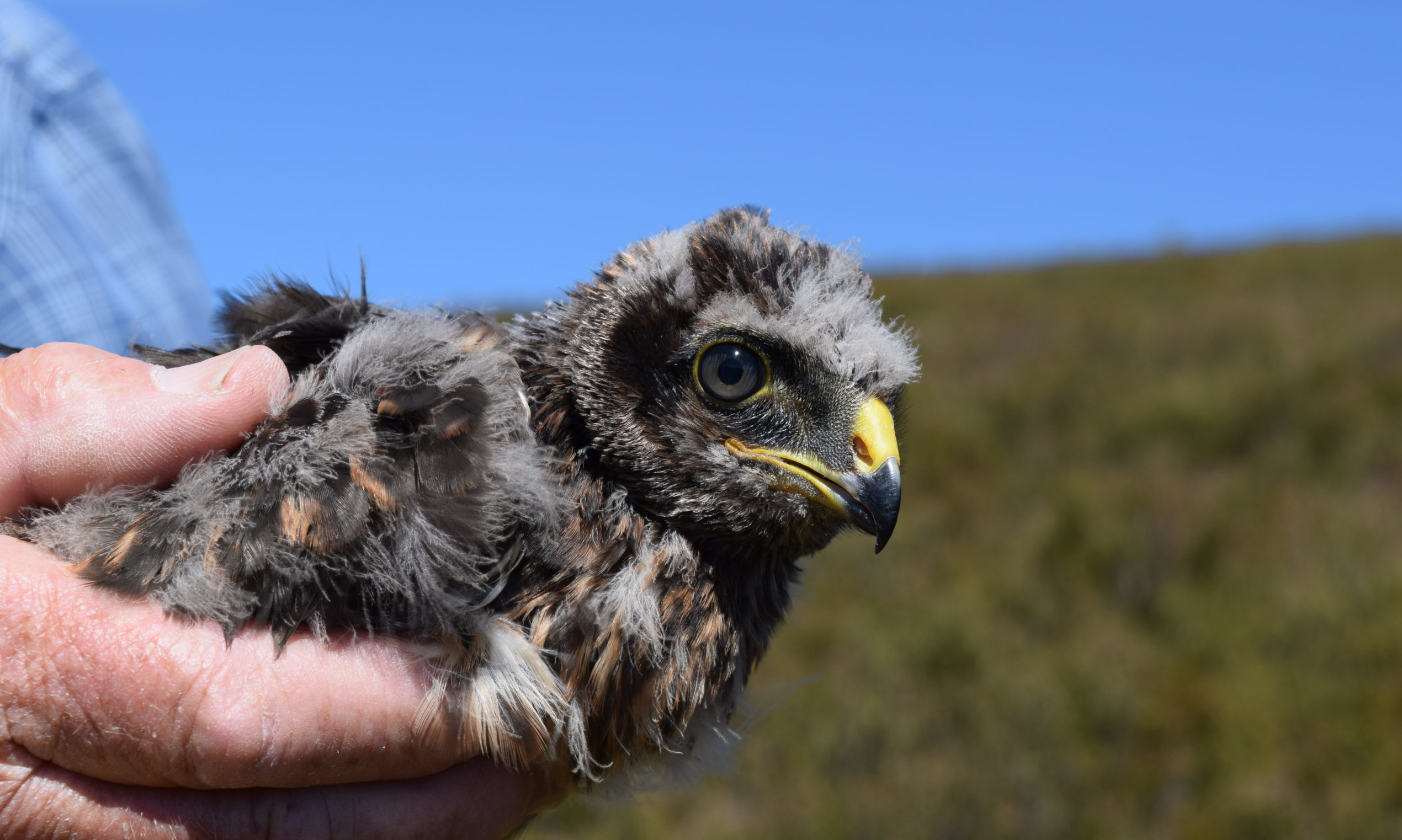 The satellite beacon attached to hen harrier Marlin stopped transmitting on April 8.