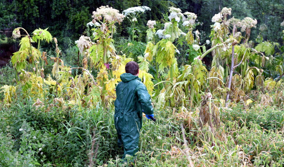 Crews from the Findhorn, Nairn and Lossie Fisheries Trust tackle giant hogweed in Elgin. Pictures by Chris Sumner.