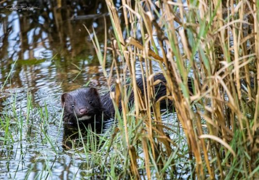 Highlanders help is being sought to identify areas where the American mink is present