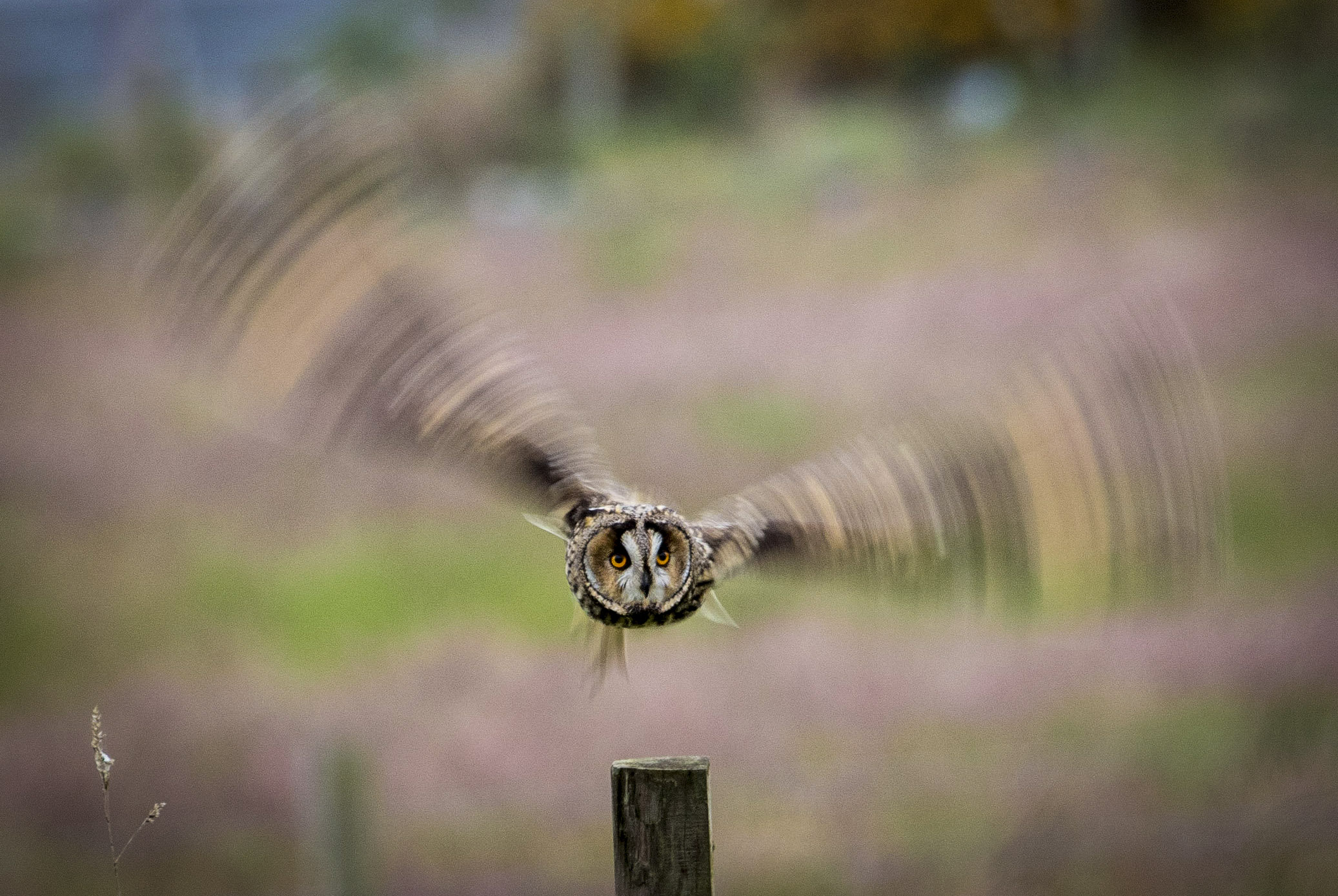 Owl in flight captured by amateur photographer Harald Huber in Inverness.