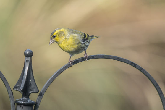 David Lawson's picture of a yellow siskin.