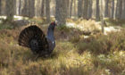 Capercaillie, in pine forest in Cairngorms National Park.