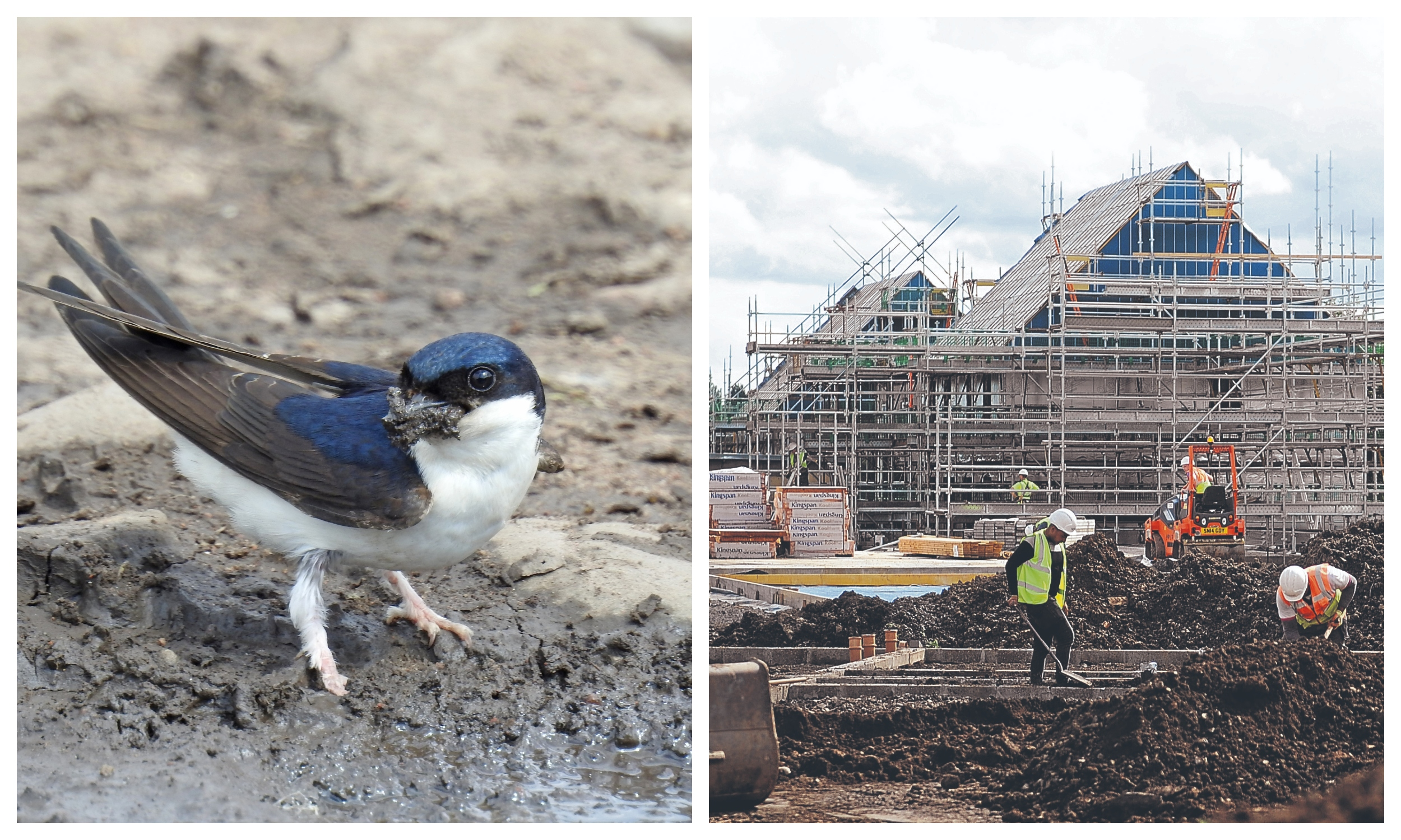 Left: A house martin gathering mud for nest building at Cromarty in the Black Isle (but not like the one on the right). Picture courtesy of reader Sandy Sutherland