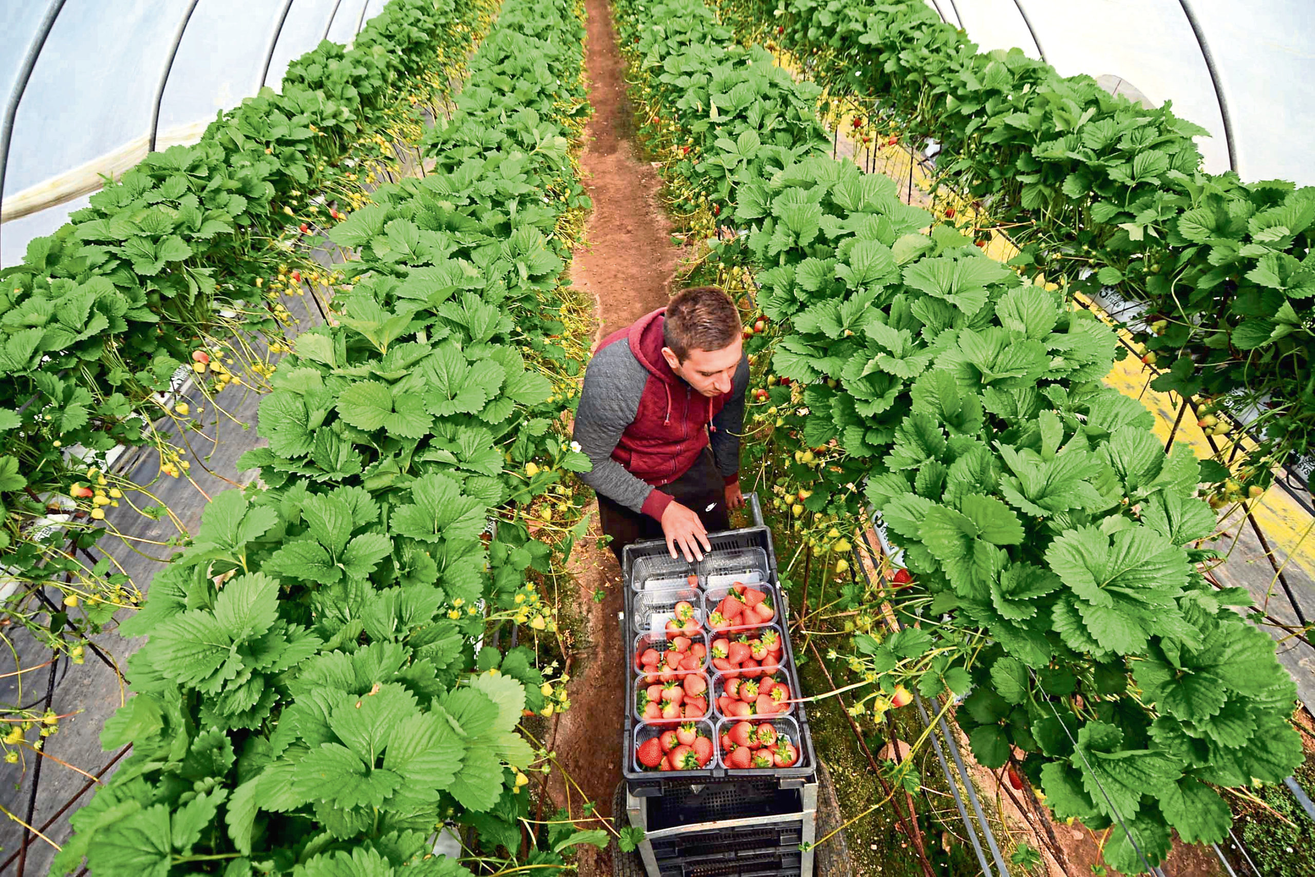 Agriculture relies on staff from EU countries, particularly seasonal workers in the soft fruit sector.