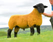 Fife breeder Stuart Craft paid 50,000gn for this Mullinvale ram lamb.