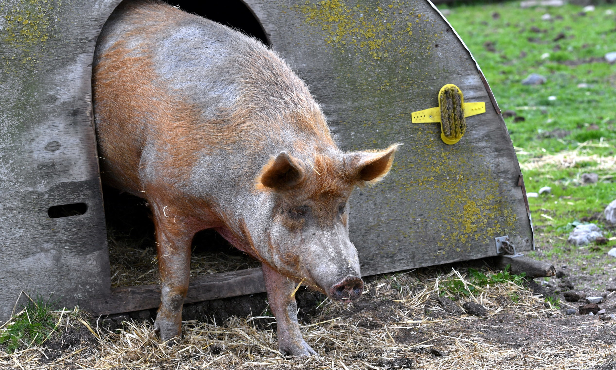 A pig at Doonies Rare Breeds Farm in Aberdeen. Picture by Kami Thomson
