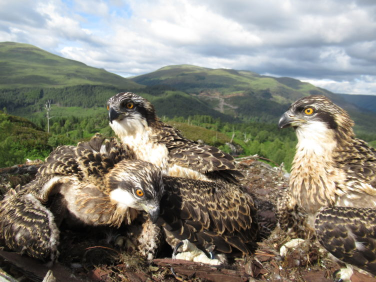 The osprey chicks at