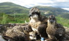 The osprey chicks at Loch Arkaig Pine Forest