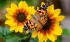 A Painted Lady butterfly.
