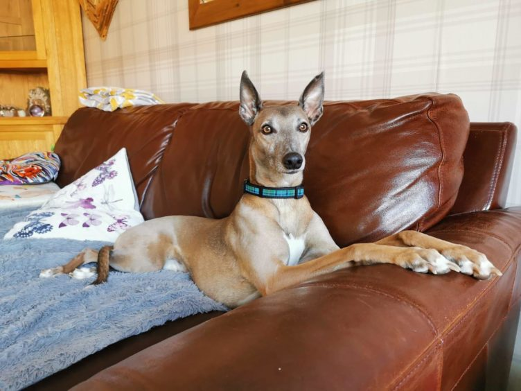 Buzz, a three year old lurcher from Moray.