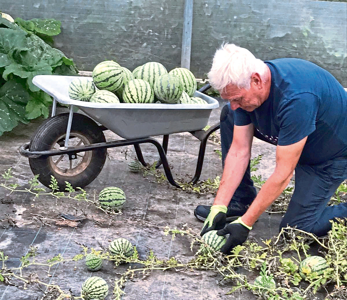 Melon harvesting supervisor Paul Mondey picking the bumper crop of watermelons at Oakley Farms.