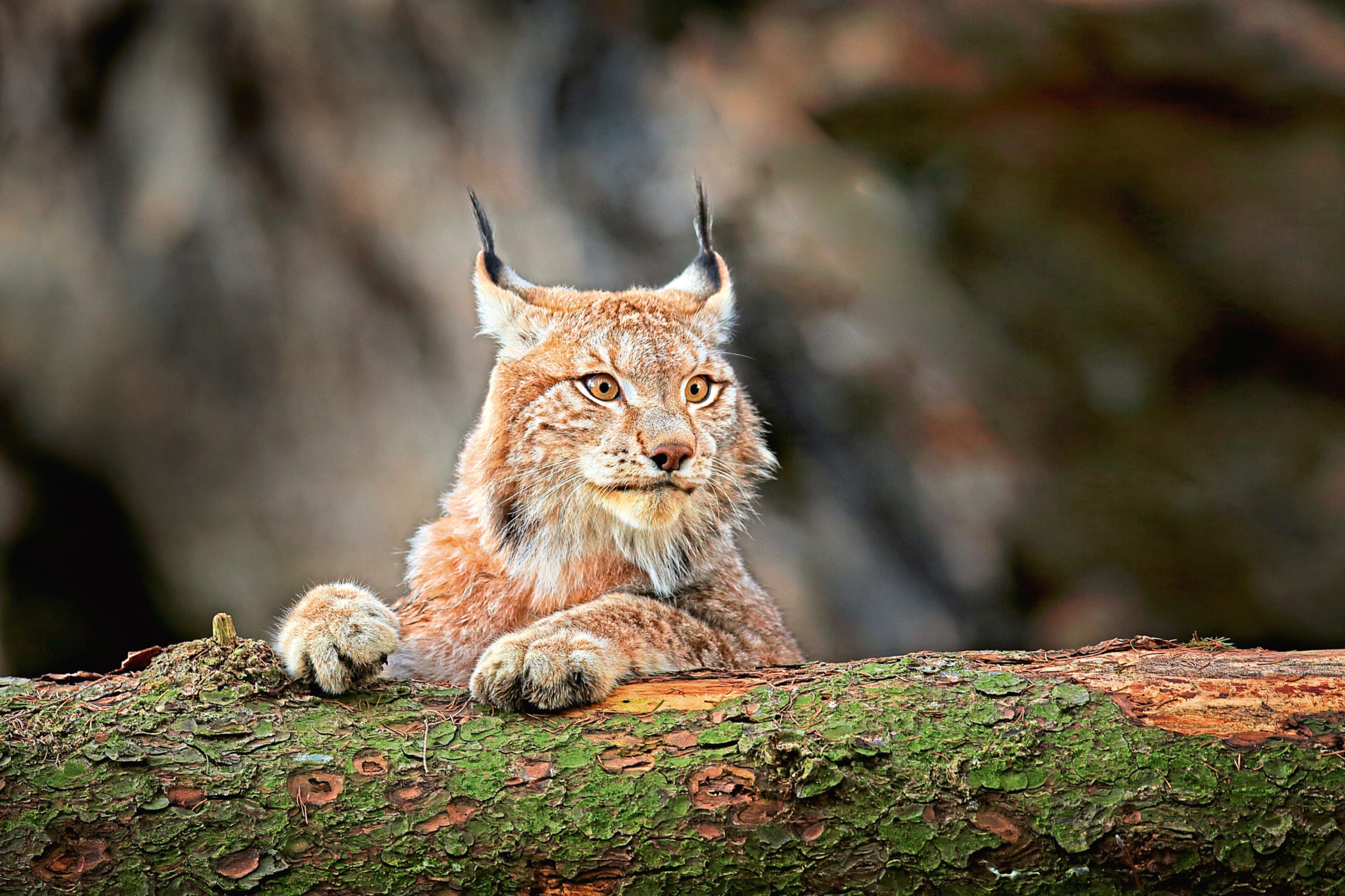 The Trust wants to release three Lynx in the Queen Elizabeth Forest Park.