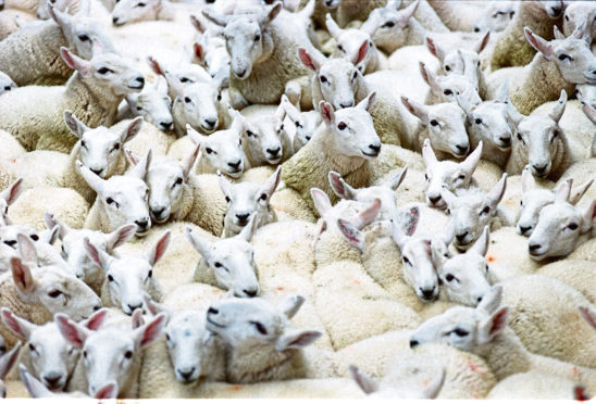The UK Government and devolved administrations are to look into developing a contingency sheep compensation scheme.