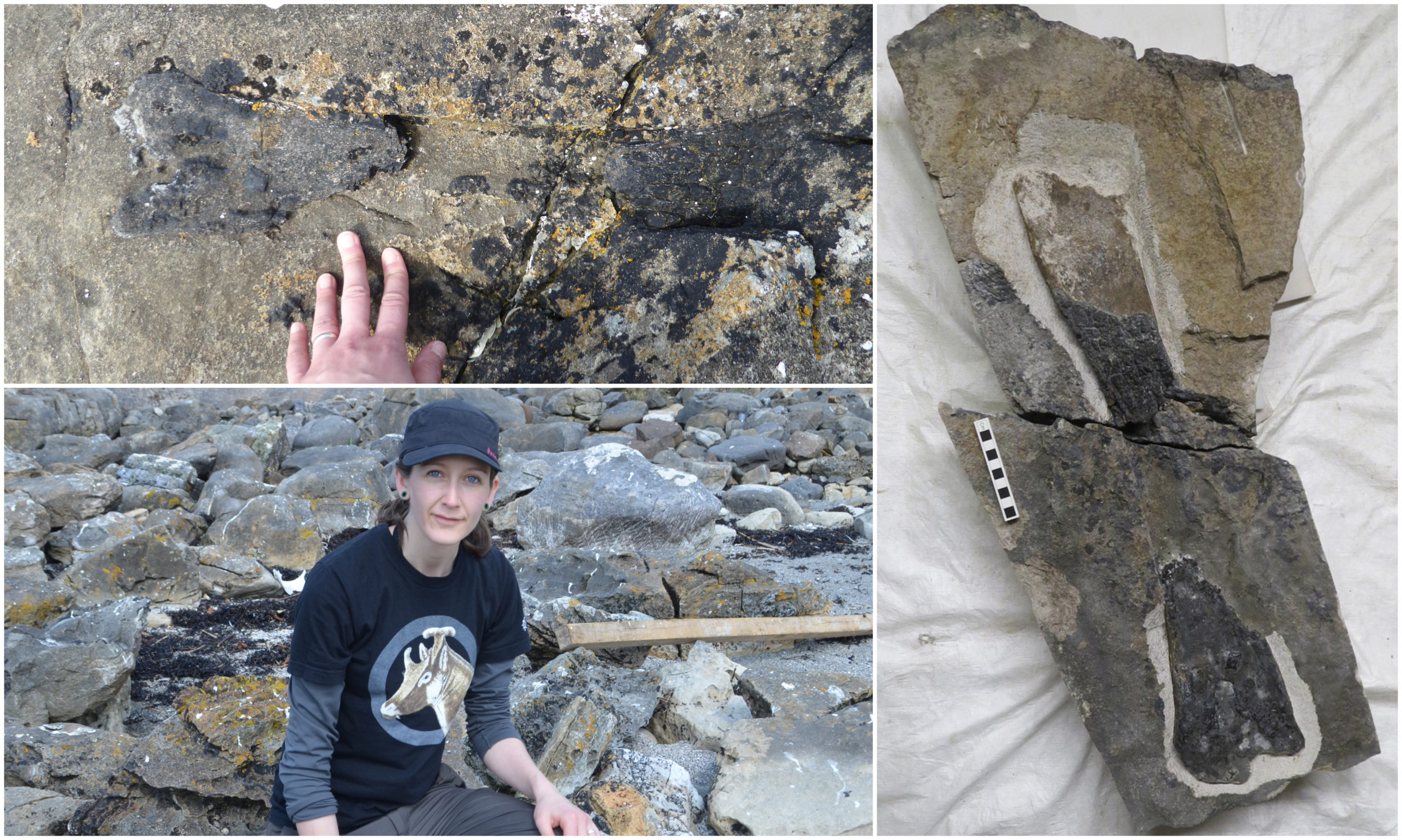 The dinosaur limb is the first of its kind to have been discovered on Eigg