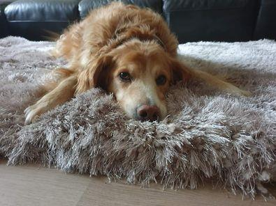 Guinness,  a 10-year-old rescue pooch from Ireland,