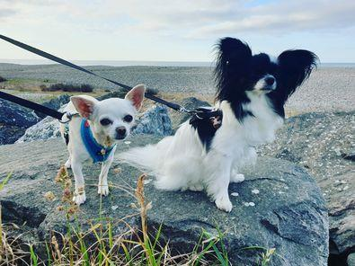 Poppy the four year old chihuahua and Harley the two-year-old papillon