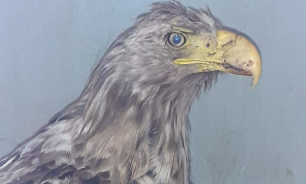 A sea eagle was found badly injured on the Isle of Lewis.