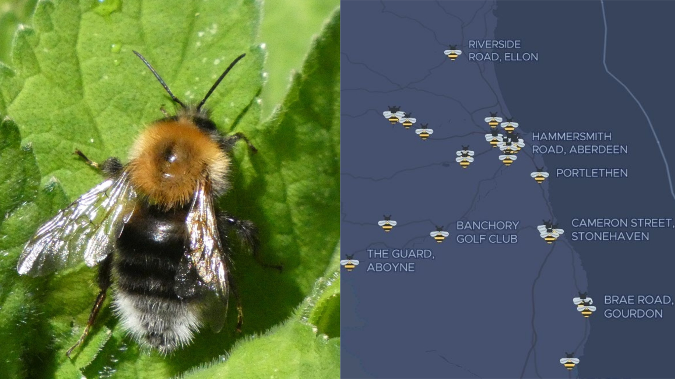 A tree bumblebee was spotted at Haughton Park, Alford last year.