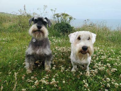 Watson (6 year old Mini Schnauzer) and Duncan (1 year old Sealyham Terrier).