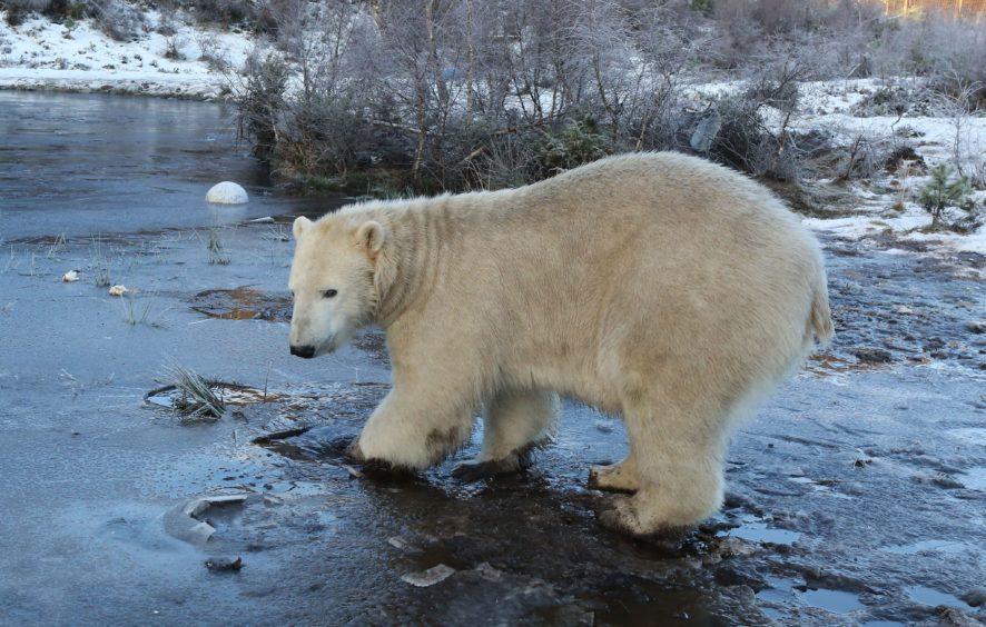 Hamish the Polar Bear at the Highland wildlife park celebrating his 2nd birthday