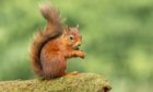 The Great Scottish Squirrel Survey will take place from from September 21 to 27.