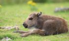 The European bison calf was born at the Highland Wildlife Park back in July.
