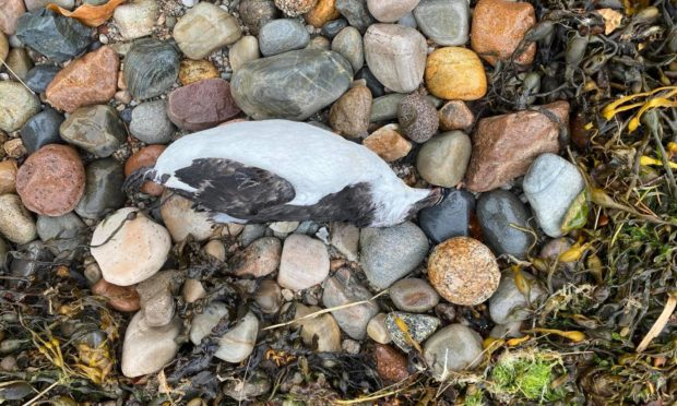 The carcasses of more than 30 birds have been found on a Lochaber beach raising concern over a potential contamination