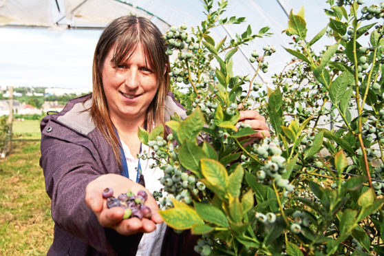 Blueberry researcher Susan McCallum with some of her crop.