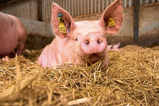 Scientists hope their model will help farmers predict how pigs will grow in a range of environments
