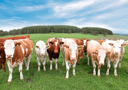 The mini stomachs will be used to study a major parasite in cattle.
