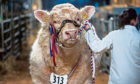 Organiser United Auctions said there will be no spectator element unless you are there to buy a bull.