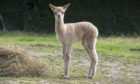 A new Alpaca was born at Pets' Corner , Aberdeen, the so far unnamed cria was born on Tuesday August 25.