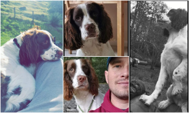 Assistance is sought to help locate Angus the Springer Spaniel who has been reported missing from the Glen Nevis area