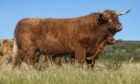 Eoin Mhor 17th of Mottistone sold for 23,000gn at the Mottistone fold dispersal at United Auctions, Stirling.