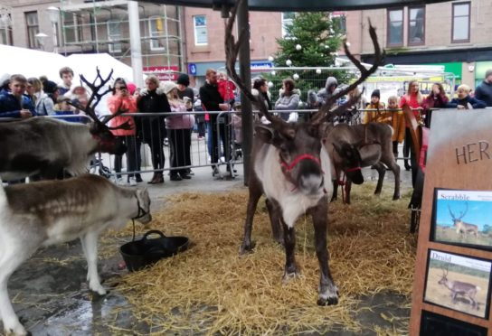The Cairngorm reindeer were one of the star attractions at the event last year.