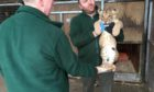 Lion cubs at Blair Drummond Safari Park on vaccination day with keeper Dave Warren (holding cub) and Keeper Raymond