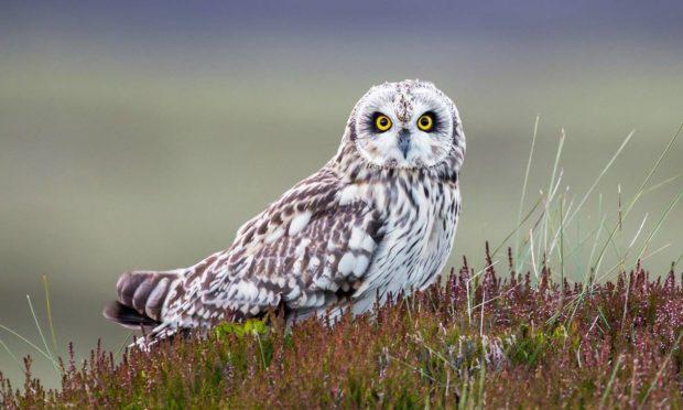 A short-eared owl on Invercauld Estate.