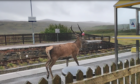 The majestic beast patrols the platform at Achnasheen