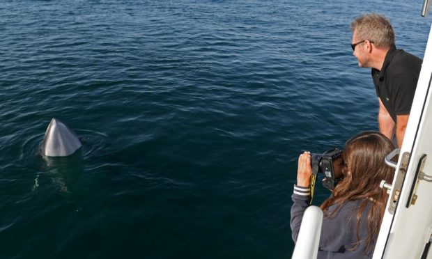 A pair of minke whales get up close to whale watchers off the coast of Mull.
