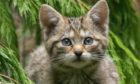 Wildcat kitten.
