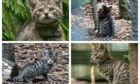 Wildcat kittens born at the Highland Wildlife Park as part of the park's breeding project. Pictures by Alyson Houston/RZSS
