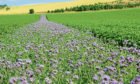 Wild flowers have been planted in the potato fields at Milton of Mathers, near Montrose, as part of a trial to find alternatives to insecticides.