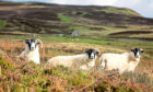 A trio of curious sheep in the Highlands.