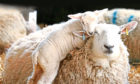 The study also found transmission of MV from ewes to their newborn lambs had only a minor effect on its spread.