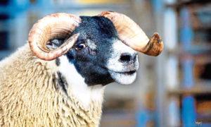 The £200,000 Dalchirla ram lamb, which set a new breed record.