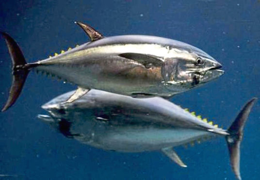 HOME SALTY HOME: Natal philopatry has seen nostalgic Atlantic bluefin tuna make their way back to where they once roamed.